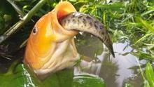 哇!好大的一条金鱼在狩猎!大金鱼捕食小鱼!